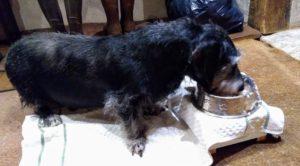 Der schwarze Strolchie schlabbert sein Futter aus seinem Schälchen, dass auf einem kleinen Tischchen steht, damit er sich nicht bücken muss