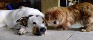 hundeforum: ein großer weißer alter Hirtenhund liegt neben einer kleiner alten Pekinesenhündin