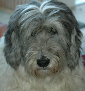 Portrait der wunderbaren Hündin Carena. Hundeforum
