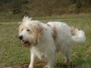 Hundeforum-Sterbebegleitung. Der Hund Sancho läuft über eine Wiese