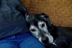 ein alter Hund mit würdevoll weissem Gesicht schmiegt sich an die Jeans seines Herrchens an