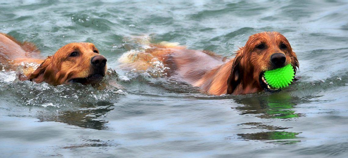 Hundeforum – Wasservergiftung, die verkannte Gefahr