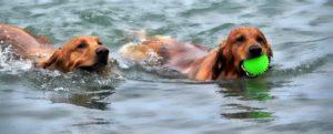 zwei Hunde schwimmen durch einen See, einer trägt einen apportierten Ball in seiner Schnauze