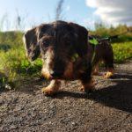 Hundeforum Rauhaardackel schaut in die Kamera, während er über einen Weg läuft, im Hintergrund Wiesen und blauer Himmel